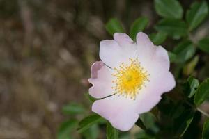 flores rosas cor de rosa em um arbusto verde. foto