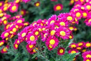 fundo floral com crisântemo rosa brilhante foto