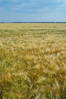 campo de trigo. campo agrícola com diferentes variedades de trigo foto