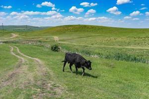 jovem touro negro sobre um fundo de campo verde. foto