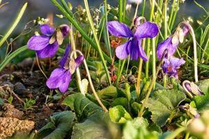 close-up de violetas de março desabrochando entre folhas de grama e pequenas flores foto