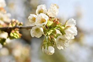 foto detalhada de um galho de cerejeira com flores, botões e folhas