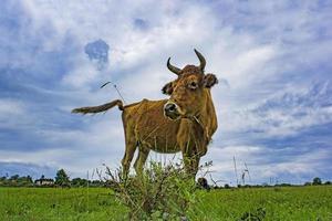 vaca vermelha no fundo de um campo verde e céu nublado. foto