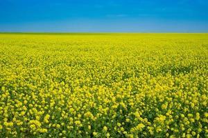 campos de colza na Crimeia. bela paisagem com flores amarelas. foto