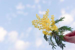 um ramo de acácia prateada contra o céu azul foto
