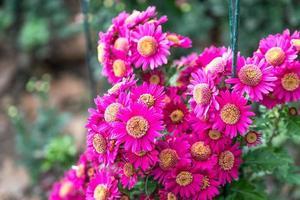 flores de crisântemo em um fundo desfocado foto