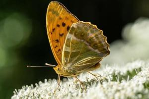 close-up detalhado de uma borboleta fritilar prateada sob a luz do sol foto