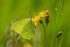 close-up de uma borboleta de enxofre em uma flor amarela foto