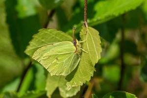 borboleta de enxofre se escondendo em uma folha foto