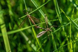 close-up de duas grandes moscas-guindaste acasalando foto