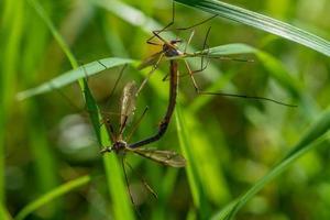 close up de duas moscas-guindaste se acasalando foto