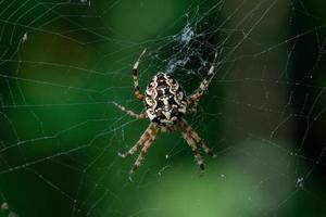 grande aranha de jardim na teia foto