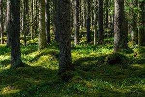 floresta de abetos com musgo foto