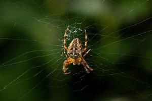 aranha de jardim no centro de sua teia foto