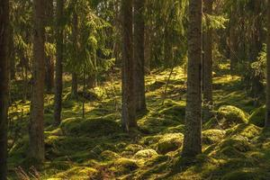 bela floresta de pinheiros e abetos na Suécia foto