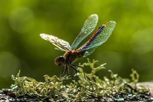 close-up de uma libélula vermelha sob a luz do sol foto