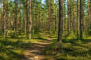 trilha em uma bela floresta de pinheiros na Suécia foto