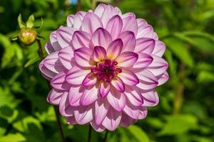 uma única flor dália rosa sob a luz do sol foto