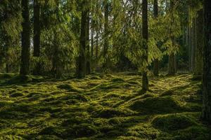 bela floresta de abetos verdes sob a luz do sol foto