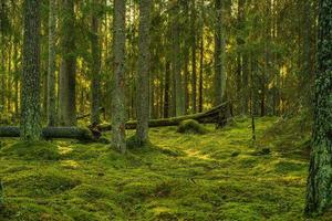 bela floresta verde de pinheiros e abetos na Suécia foto