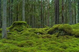 bela floresta de abetos com musgo verde foto