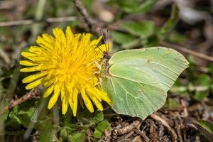 close-up de uma borboleta de enxofre em uma flor dente de leão foto