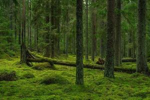 floresta de pinheiros e abetos foto