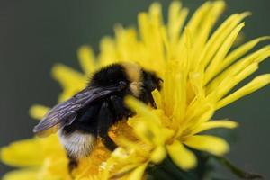 abelha sentada em uma flor amarela de dente-de-leão foto