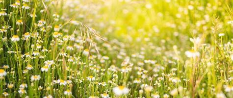 close-up de muitas margaridas na primavera com foco seletivo e luz do sol difusa atrás delas foto