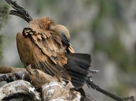 close-up de abutre-grifo foto