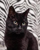 gato preto em um fundo de zebra foto