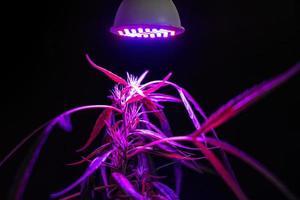 planta de cannabis sob uma luz led foto