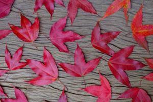 folhas de bordo vermelhas em madeira velha foto