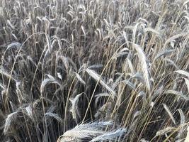 espigas de trigo douradas no campo foto