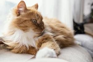 gato laranja e branco deitado foto