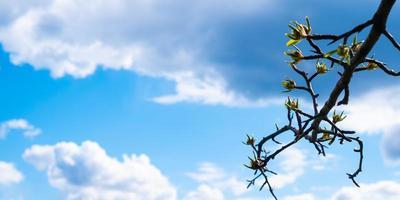 folhas de primavera florescendo em um galho contra um céu azul com nuvens brancas e espaço de cópia foto