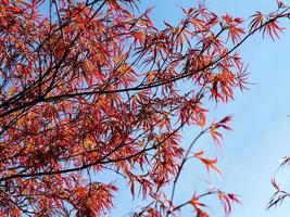lindas folhas vermelhas de bordo japonês contra um céu azul foto