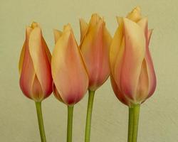 lindas flores de tulipa de pêssego em um fundo simples foto
