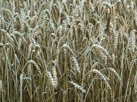 espigas de trigo maduras em um campo de trigo foto