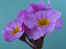 closeup de flores rosa polyanthus rosa champanhe foto
