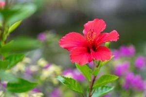 flor de hibisco vermelho em fundo verde desfocado com bokeh foto