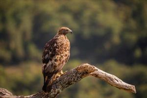 águia dourada aquila chrysaetos foto