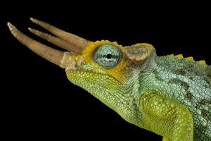 camaleão trioceros jacksonii merumontanus do anão jackson foto