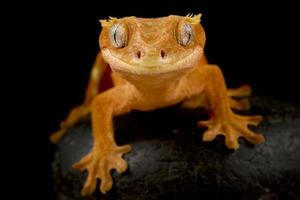 gecko-crista correlophus ciliatus foto