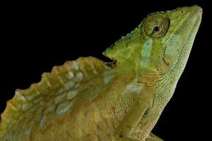 camaleão com crista trioceros cristatus foto