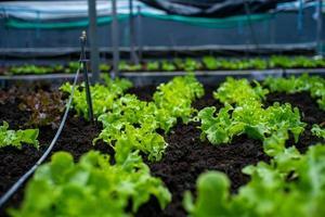 closeup pequeno vegetal orgânico cultivado na bandeja do berçário na fazenda com um grupo desfocado de vegetais no fundo foto