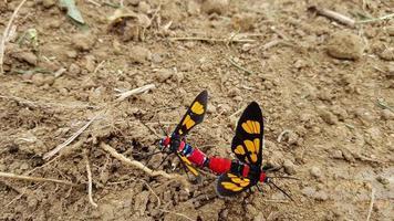 dois insetos coloridos se acasalando no chão foto