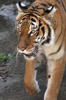 um tigre malaio foto