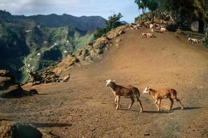 cabras em anaga mouintains em tenerife foto