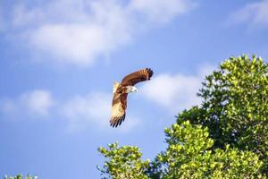 falcão vermelho enquanto voa no céu. foto